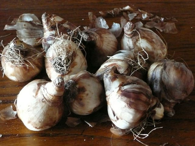 storing-bulbs-for-winter